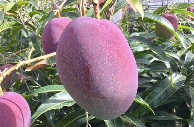 聖なる果物 マンゴー